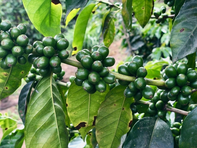 Coffee cherries in Antigua, Guatemala