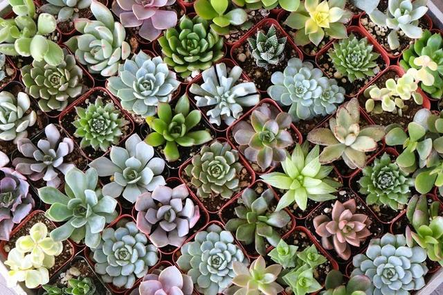 A selection of small succulents.