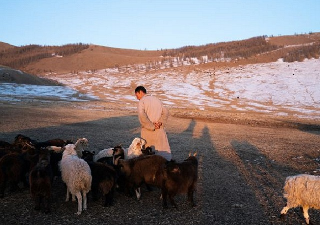 Mongolian Herder with Sheep