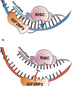 Cartoon of RNA-binding protein IGF2BP3 in action