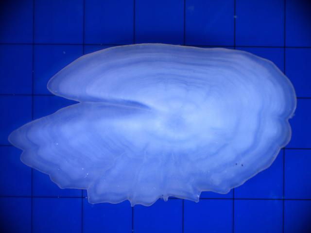An otolith from a lanternfish is used to estimate the fish's age.