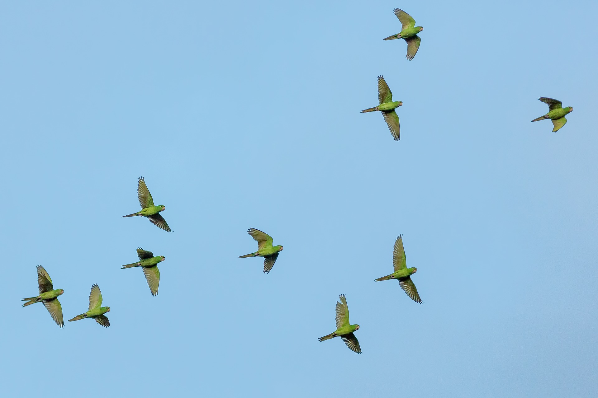 a flock of green parrots flying through the blue, cloudless sky