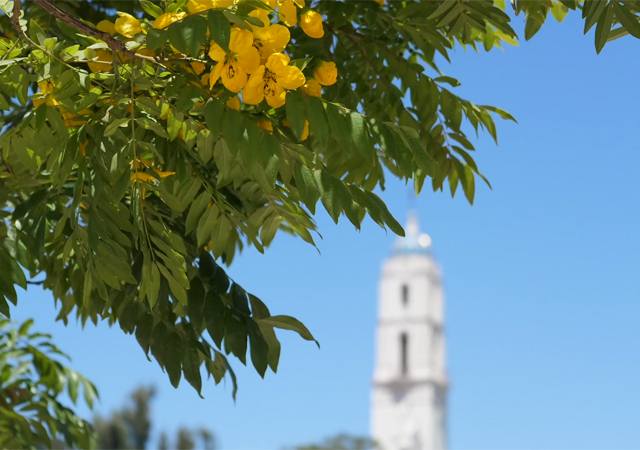 Tree with yellow flowers with the Immaculata in the background
