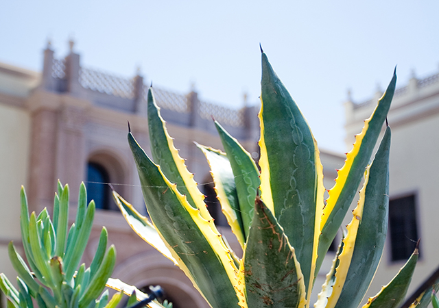 Agave plant at USD
