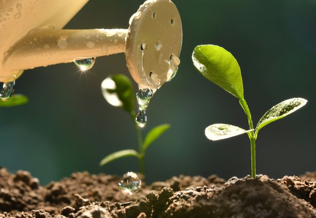 Water can pouring water on sprouting plants
