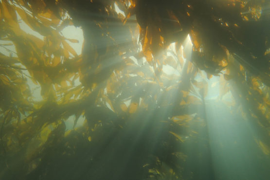 Picture of kelp forest in ocean.