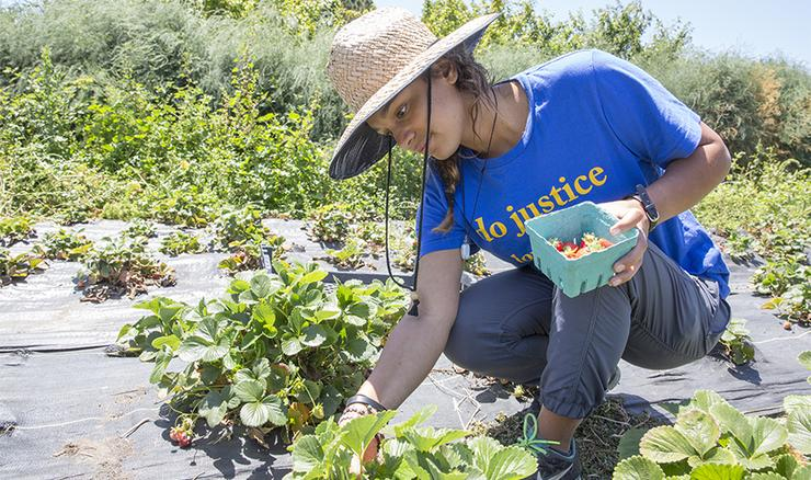 USD student Janaye Perry, a 2017 MICAH Fellow, picks strawberries while working on a farm. The MICAH Fellows program is one of many community engagement opportunities through USD's Mulvaney Center.