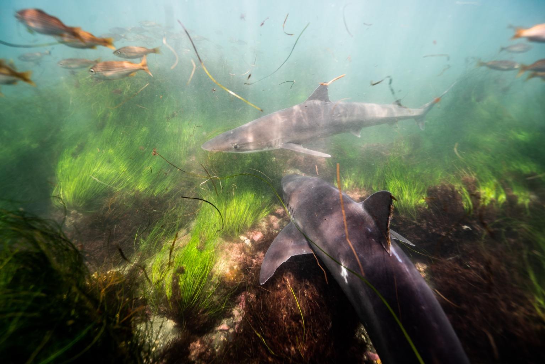Soupfin sharks swimming in La Jolla, Calif. Photo credit: Trystan Snodgrass